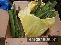 dragon_fruit_cuttings_1