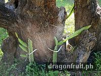 dragon_fruit_cuttings_11