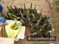 dragon_fruit_cuttings_2