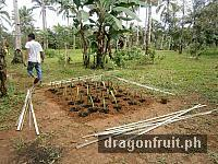 dragon_fruit_cuttings_3