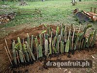 dragon_fruit_cuttings_4