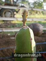 dragon_fruit_cuttings_5
