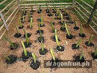 dragon_fruit_cuttings_6