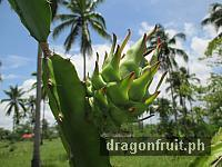 Dragon Fruit Fruiting 1