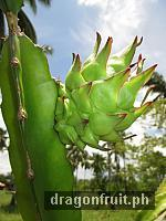 Dragon Fruit Fruiting 2