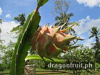 Dragon Fruit Fruiting 3