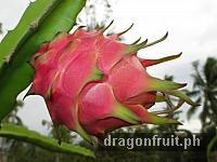Dragon Fruit Fruiting 4