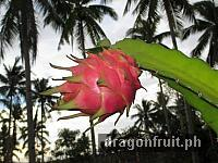 Dragon Fruit Fruiting 6