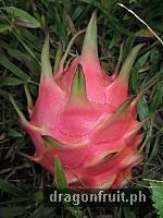 Dragon Fruit Fruiting 9