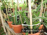 Dragon Fruits from seeds 11